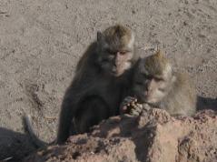 Monyet di Puncak Pertama menunggu makanan