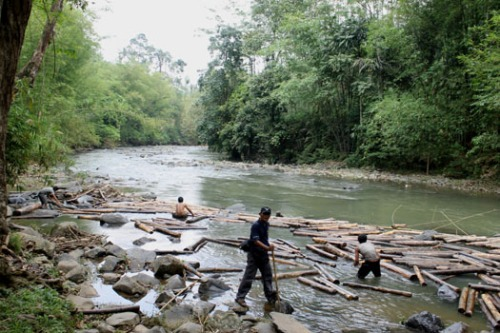 Proses pengangkatan kayu dari sungai ke atas tebing